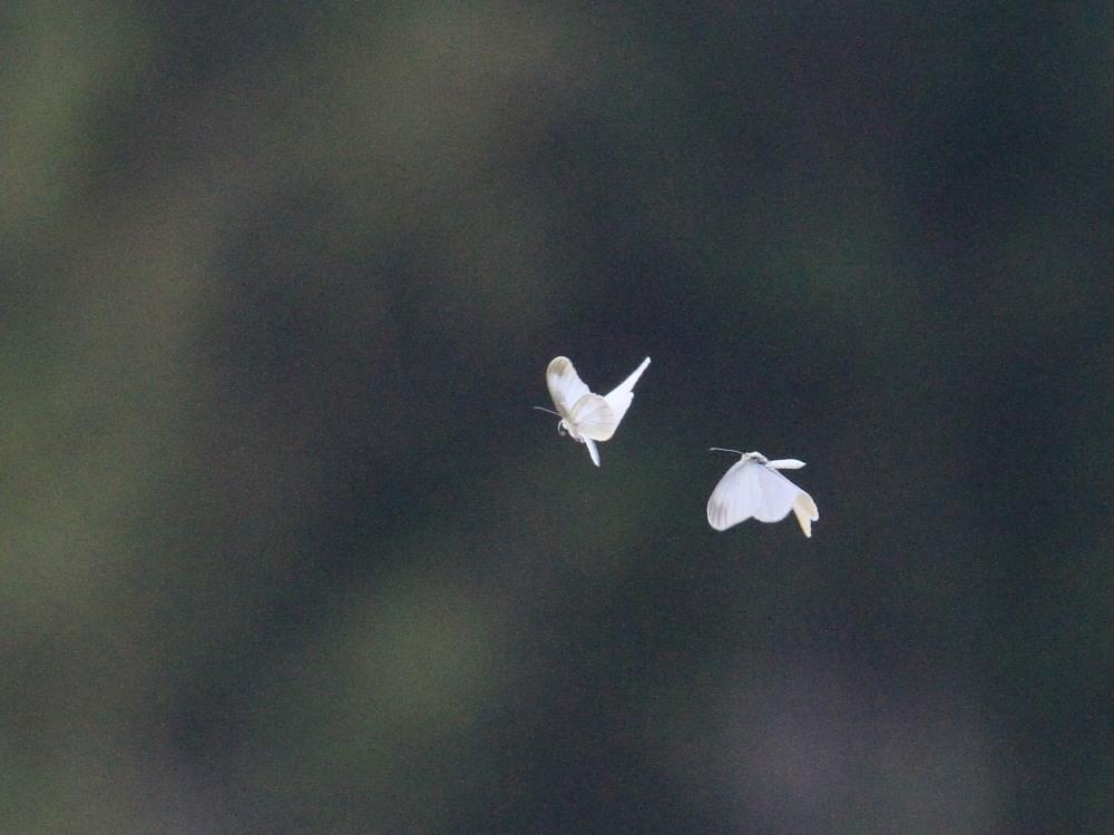 ヒメシロチョウ 望遠飛翔の練習に。 2014.4.26長野県 _a0146869_611244.jpg