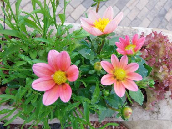 お店の「花壇」では。_a0125419_21192002.jpg