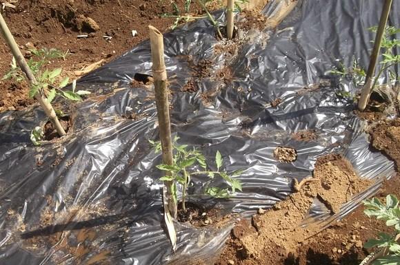 スイカの苗を植えました、_b0137932_16522755.jpg