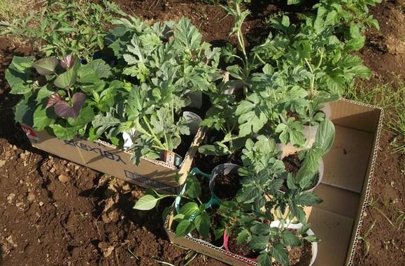 スイカの苗を植えました、_b0137932_1652367.jpg