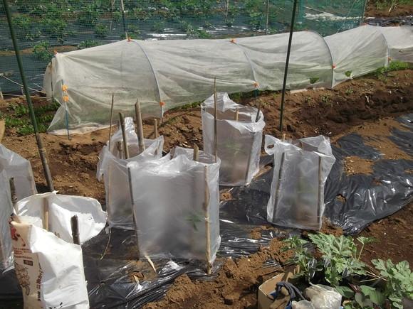 スイカの苗を植えました、_b0137932_16524543.jpg