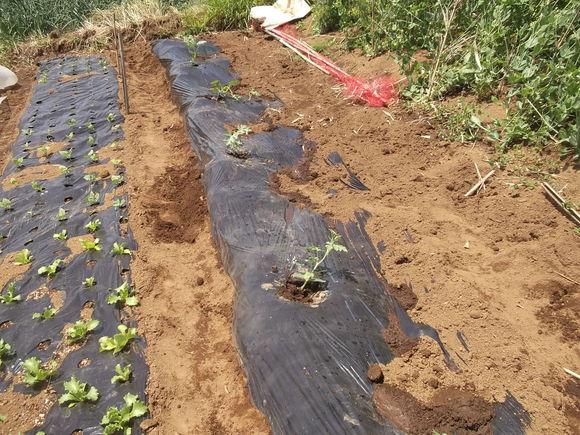 スイカの苗を植えました、_b0137932_16533821.jpg