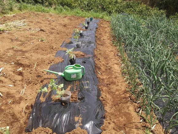 スイカの苗を植えました、_b0137932_165415.jpg