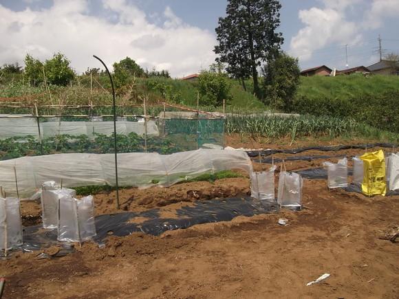 スイカの苗を植えました、_b0137932_16542816.jpg