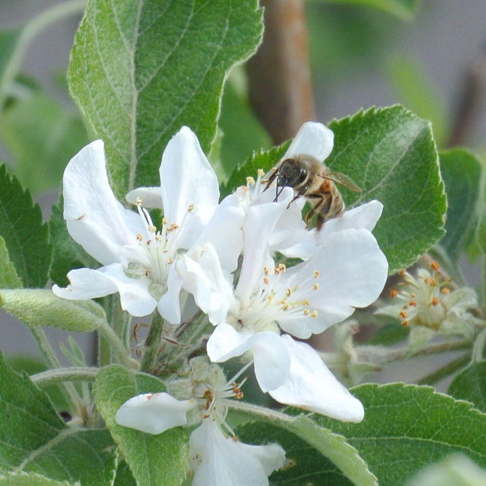 ハナアブとリンゴの花_e0089232_13444487.jpg