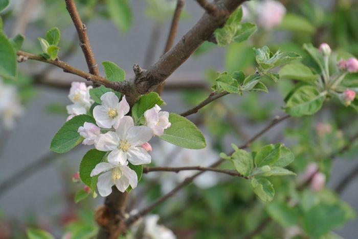 ハナアブとリンゴの花_e0089232_13522926.jpg