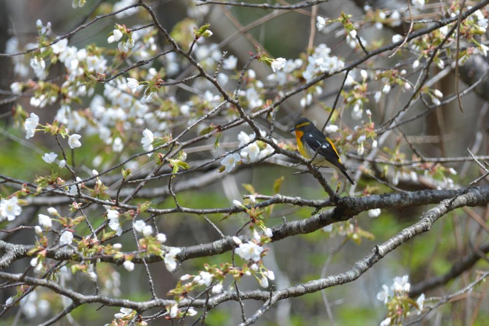 桜キビタキ Ⅰ_f0053272_101665.jpg