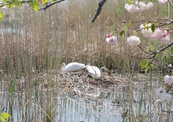 手賀沼に棲む水鳥たち 7_e0200879_15265973.jpg