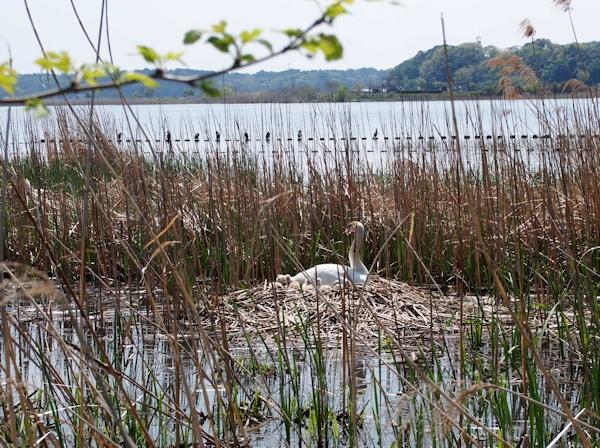手賀沼に棲む水鳥たち 7_e0200879_15271821.jpg