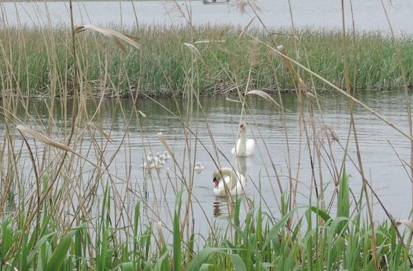 手賀沼に棲む水鳥たち 7_e0200879_15275772.jpg