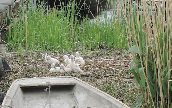 手賀沼に棲む水鳥たち 7_e0200879_15281975.jpg