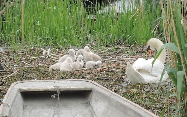 手賀沼に棲む水鳥たち 7_e0200879_15283076.jpg