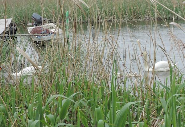 手賀沼に棲む水鳥たち 7_e0200879_1528988.jpg