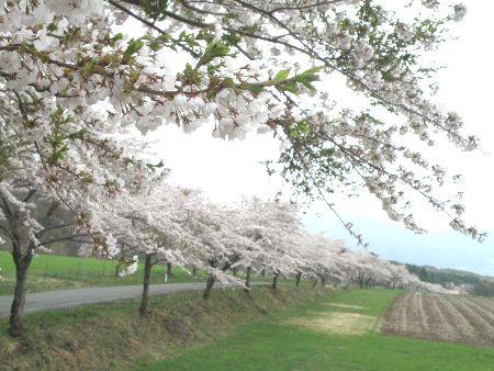 猪苗代、もう一つの桜並木_a0096989_13293452.jpg