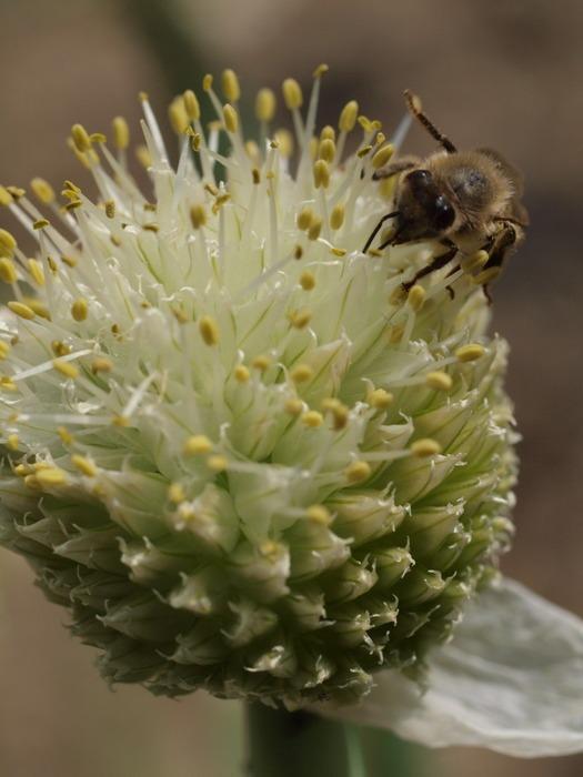 ネギ坊主のミツバチとコマルハナバチ_c0116915_0252279.jpg