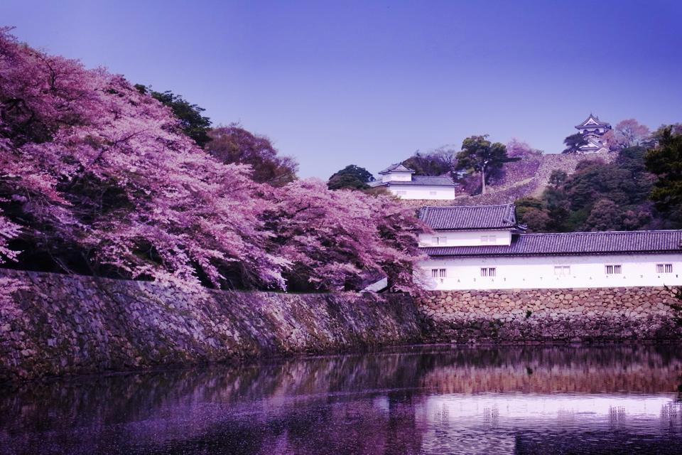 彦根城の桜 (Cherry blossoms at Hikone-castle)_c0067646_654216.jpg