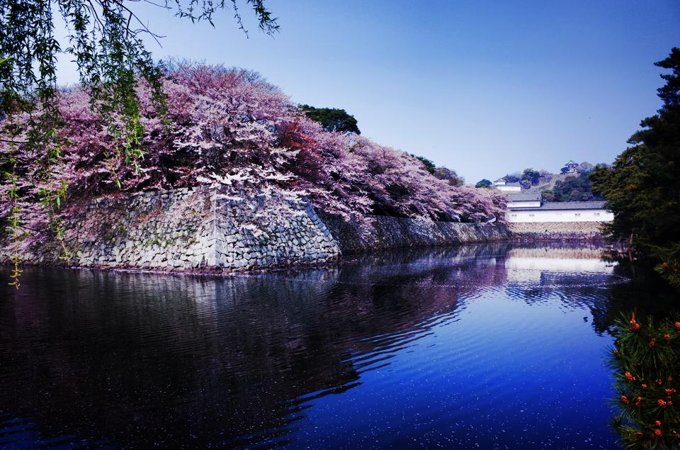 彦根城の桜 (Cherry blossoms at Hikone-castle)_c0067646_6542363.jpg
