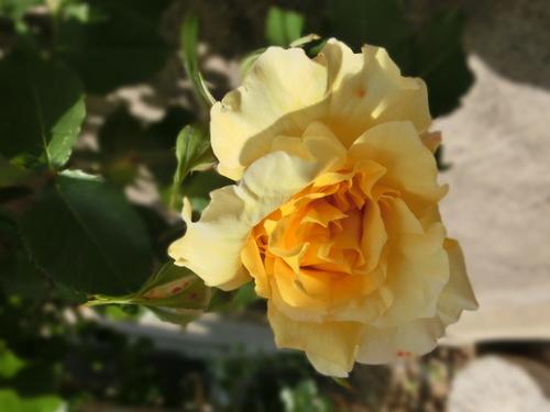 庭に咲いた色とりどりの花_e0291149_2184566.jpg