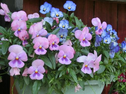 庭に咲いた色とりどりの花_e0291149_2193762.jpg