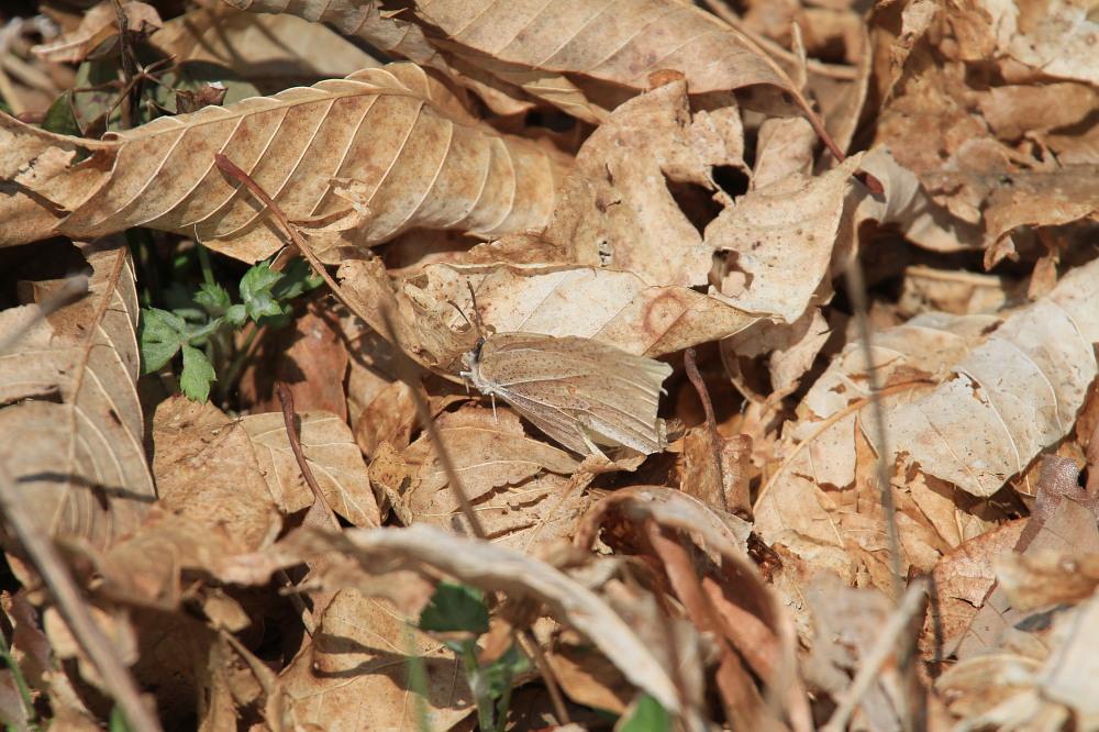 スジボソヤマキチョウ 越冬♀雌の産卵シーン 2014.4.27長野県_a0146869_6215329.jpg