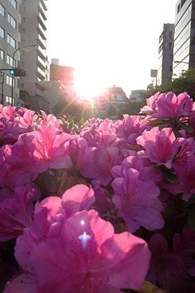 桜の次は、ツツジが見ごろです@広尾_f0165332_19290061.jpg
