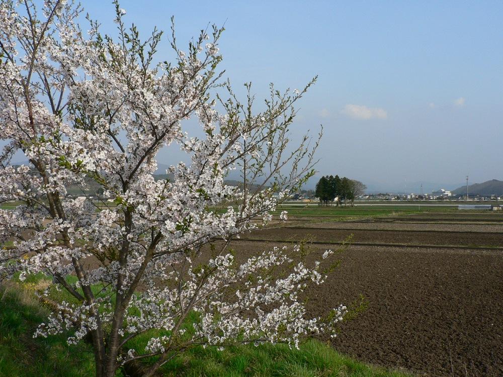 葉桜_d0001843_23202881.jpg