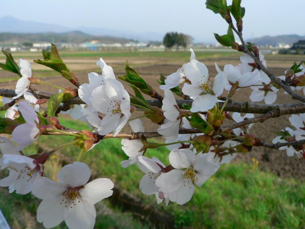 葉桜_d0001843_2320992.jpg