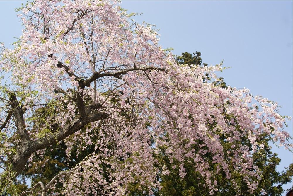 葉桜_d0001843_2334130.jpg