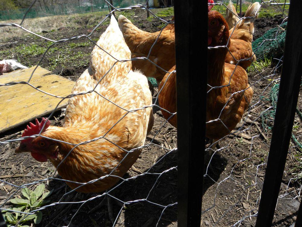 「おのこの地鶏・卵」なんちゃって・・・_b0329588_08550210.jpg