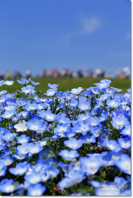 ネモフィラの青い丘_f0179404_9213727.jpg