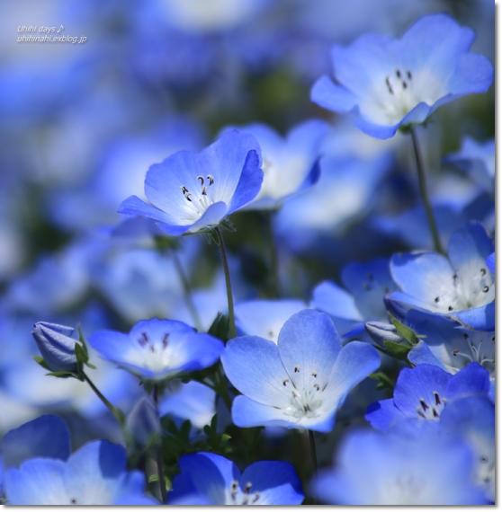 ネモフィラの青い丘_f0179404_9224776.jpg