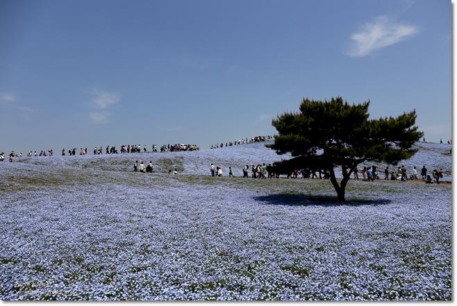 ネモフィラの青い丘_f0179404_9255975.jpg