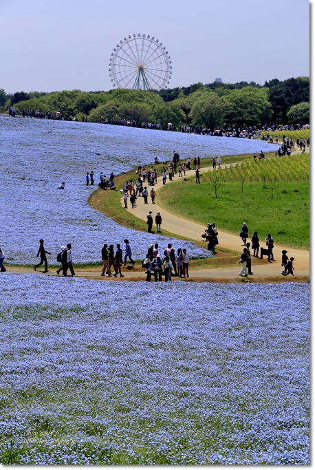 ネモフィラの青い丘_f0179404_9273375.jpg