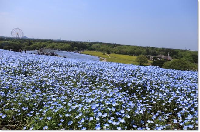 ネモフィラの青い丘_f0179404_9275934.jpg