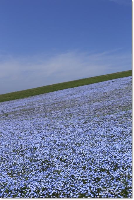ネモフィラの青い丘_f0179404_928934.jpg