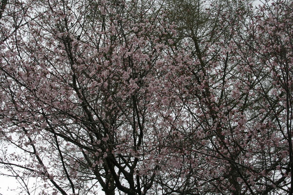 桜の開花_b0174425_2102485.jpg