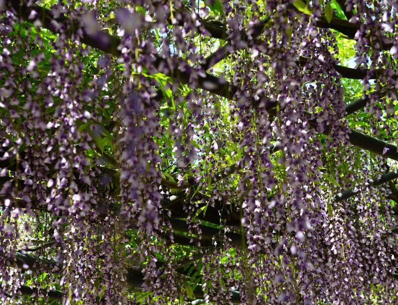 萬福寺の 藤の花      2014 0502_d0246136_18192156.jpg