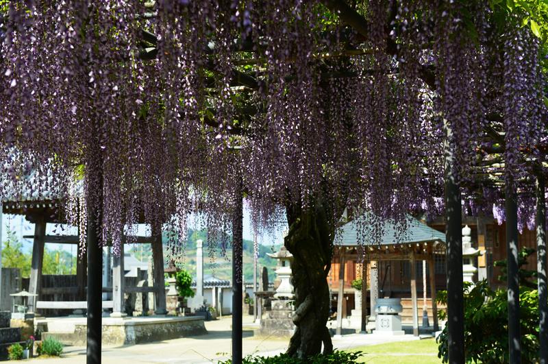 萬福寺の 藤の花      2014 0502_d0246136_18194372.jpg