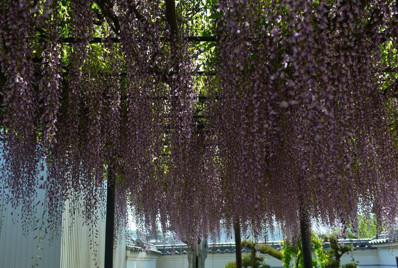 萬福寺の 藤の花      2014 0502_d0246136_18295165.jpg