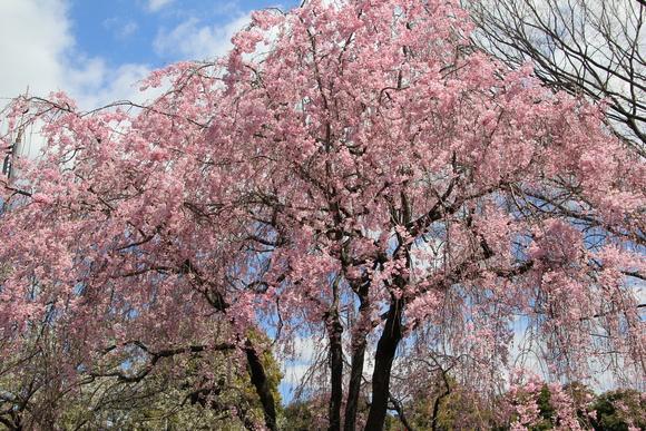 皇居の桜 ・・_d0202264_6442573.jpg