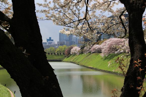皇居の桜 ・・_d0202264_6445654.jpg