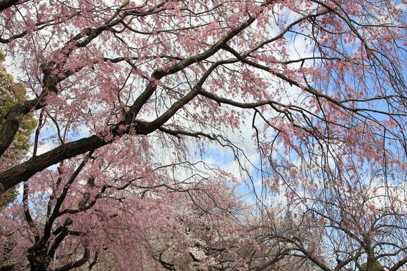 皇居の桜 ・・_d0202264_6464820.jpg