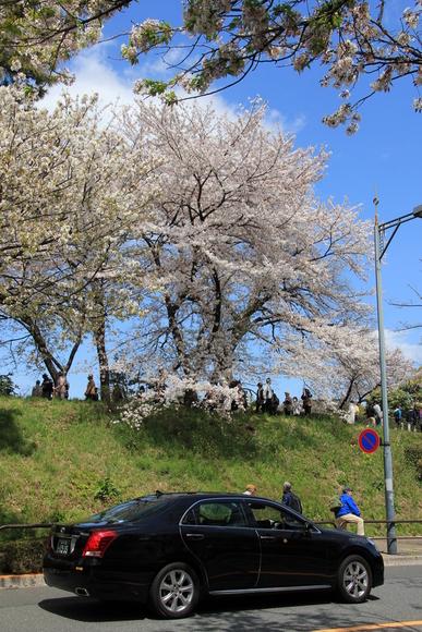 皇居の桜 ・・_d0202264_646825.jpg