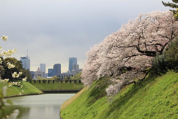 皇居の桜 ・・_d0202264_6473164.jpg