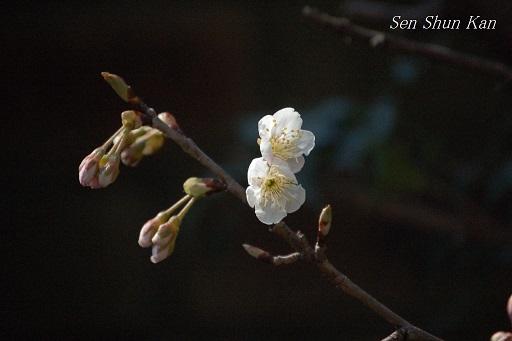 真赤なさくらんぼ(暖地桜桃) 2014年5月5日 _a0164068_1163956.jpg
