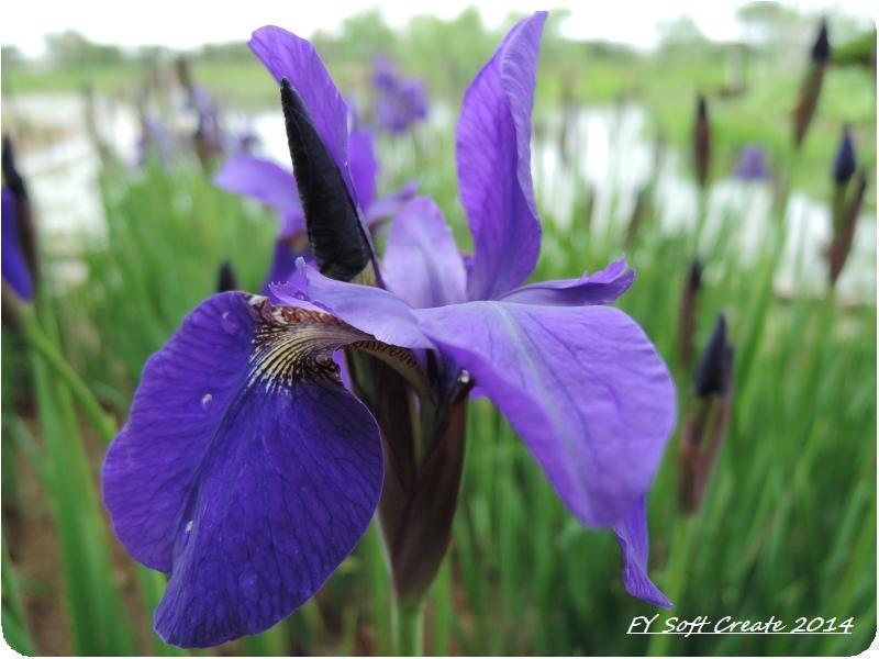 ◆ 「水郷佐原水生植物園」へ (2014年5月)_d0316868_18452359.jpg