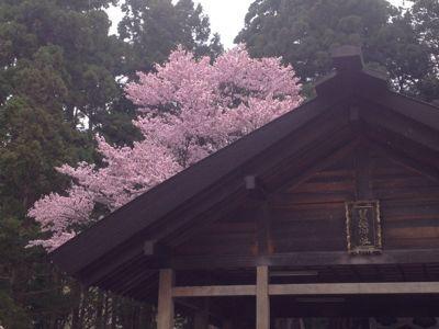 桜〜🌸_a0165694_1275862.jpg