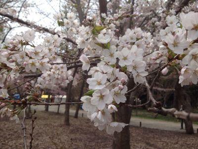 桜〜🌸_a0165694_1275912.jpg
