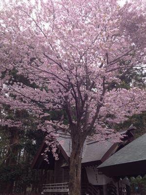 桜〜🌸_a0165694_1275952.jpg