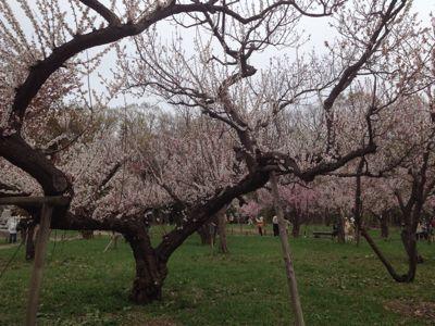 桜〜🌸_a0165694_128140.jpg
